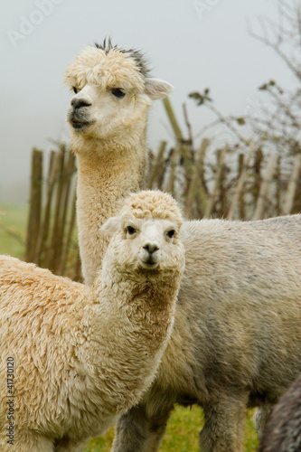 Aluminium Lama Alpaca mother and child