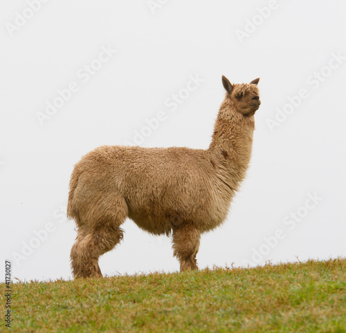 Foto op Aluminium Lama An Alpaca on the horizon