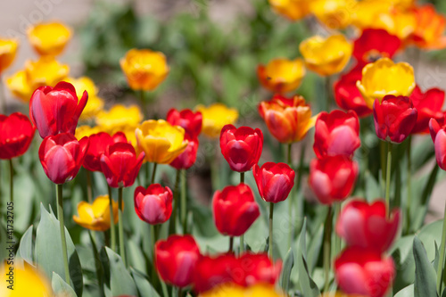 Colorful tulips in meadow