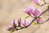 beautiful magnolia - 41732903