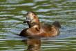 A wild duck swimming
