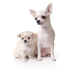 Chihuahua dog with her puppy