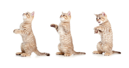 standing striped british kitten set isolated