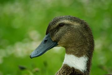 pato azulón  hembra