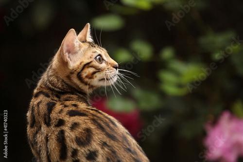 Bengalkatze im Seitenblick