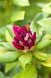 Rhododendron, plante, fleur, jardin, jardinage, végétal, vert