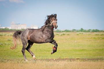 beautiful black horse running gallop on pasture