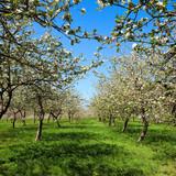 Fototapety Pommier fleuri au printemps C