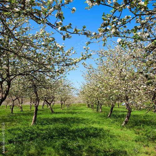 Leinwandbild Motiv Pommier fleuri au printemps C