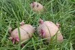 Three sprouted potatoes on a grass