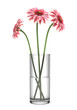 pink gerbera daisies in vase isolated on white background