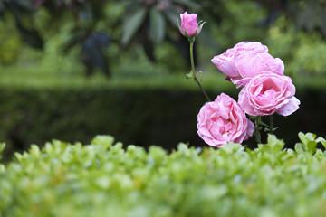 Rosa en el jardín del Palacio de Viana, Córdoba