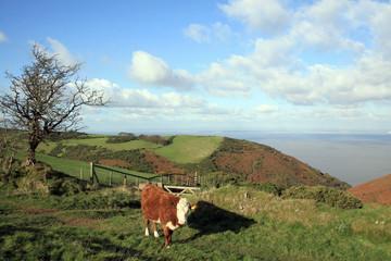 Cow on Selworthy Beacon in Exmoor