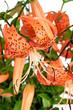 Tiger Lily, Lat. Lilium lancifoliu