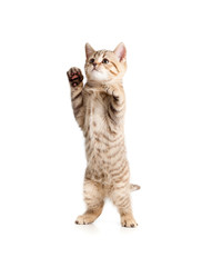 Scottish kitten straight standing isolated