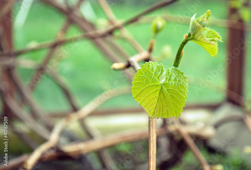 New leaves are growing on the vine