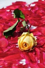 Gelbe vertrocknete Rose auf frischen roten Blütenblättern