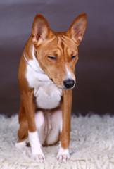 Basenji-dog on the brown background