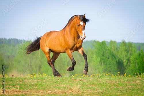 zatoka-konia-biegnie-galopem-w-lecie