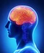 Brain CEREBRUM anatomy - cross section