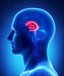 Brain VENTRICLES anatomy  - cross section