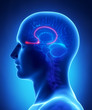 Brain anatomy OLFACTORY BULB - cross section