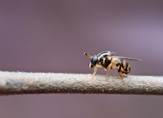 syrphid fly on plant twig