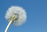dandelion Blowball