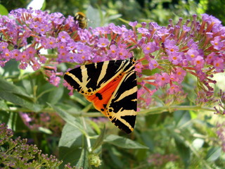 Jersey Tiger Butterfly (Euplagia quadripunctaria)