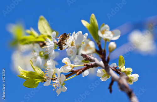 Bee on spring apple blossom