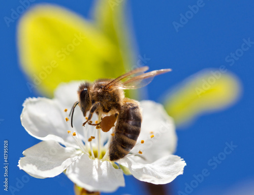 Bee on apple blossom, macro shot