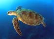 Leinwandbild Motiv green turtle swimming,great barrier reef, cairns, queensland, au