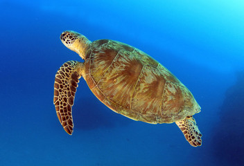 green turtle swimming,great barrier reef, cairns, queensland, au