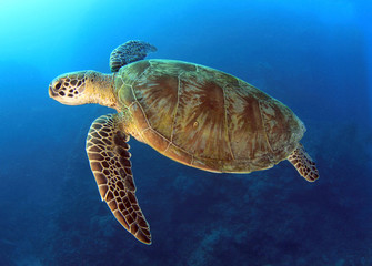 green turtle swimming,great barrier reef, cairns, queensland, au