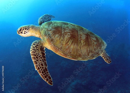 Foto op Aluminium Schildpad green turtle swimming,great barrier reef, cairns, queensland, au