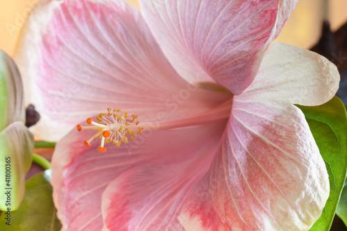 hibiscus rose pastel