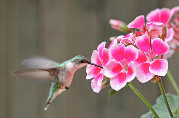 Ruby-throated Hummingbird and Flower