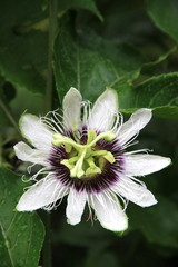 Passiflora flowers.