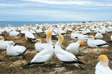 Gannets at Cape Kidnappers Gannet Colony, Hawkes Bay