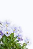 Mehrere Hornveilchen (Viola cornuta) auf weißem Hintergrund