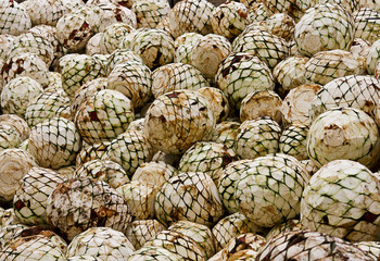cabezas de agave tequilana