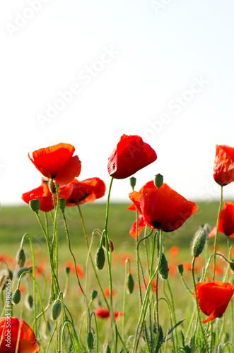 kwiatuszki-makowe