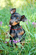 The Miniature Pinscher puppy, 3 months old