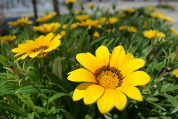 Venidium flower