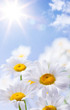 daisies floral summer background