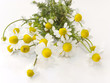 Fresh chamomile flowers