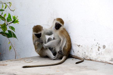 Two monkeys sitting and play.