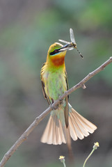 Blue-Tailed Bee Eater with Prey