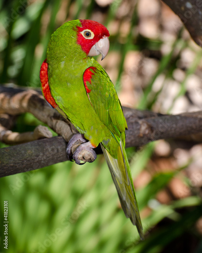 Red and green parrot roosting on branch
