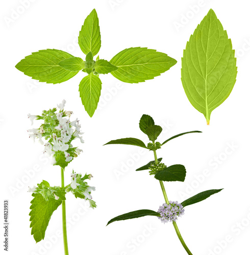 set of isolated mint leaves
